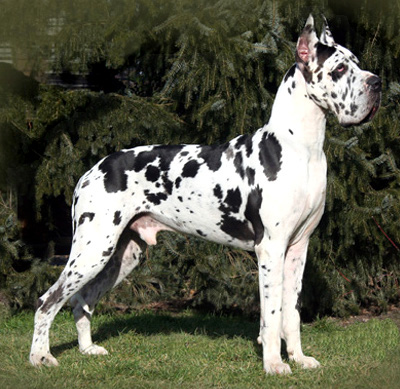 Great Dane (Harlequin Cropped Ear) - Compatible Canine Companions